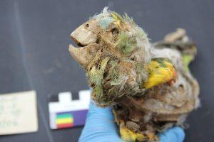 Arkeolog Menemukan Mumi Burung Beo di Amerika Selatan