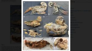 Unik Mumi Burung Beo di Amerika Selatan